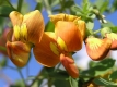 Gelber Blasenstrauch Clutea arborescens Samen