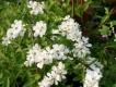 Reichlbühende Prunkspiere Pflanze