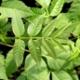 Chinesischer Gemüsebaum Toona sinensis Samen