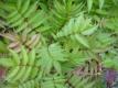 Sibirische Fiederspiere Sem (R) Pflanze