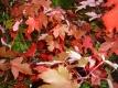 Feuerahorn Acer freemanii Jeffersred Pflanze