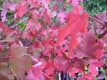 Feuerahorn Acer freemanii Jeffersred Pflanze