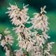 Schneeforsythie Roseum  Pflanze