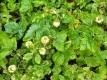 Walderdbeere Blanc Ameliore Pflanze