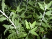 Blauraute Perovskia atriplicifolia Pflanze
