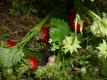 Elefantenerdbeere Madame Moutout Pflanze