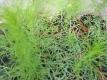 Besenbeifuß Artemisia scoparia BLBP 01 Pflanze