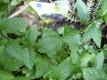 Schokominze Chocolate Pflanze