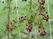 Stachellose Brombeere Thornfree Pflanze