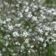 Schleierkraut Schneeflocke Pflanze
