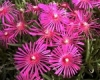 Mittagsblume Delosperma sutherlandii Pflanze