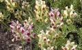 Steingartenleinkraut Linaria aeruginea Pflanze