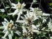 Echtes Alpenedelweiß Leontopodium alpinum Pflanze