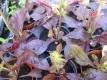 Indianischer Heilsalbei Purple Knockout Pflanze