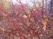 Sibirischer Hartriegel Pflanze