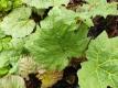 Chinesischer Rhabarber Rheum officinale Pflanze