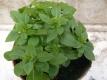 Basilikum Bubikopf Aus Griechenland Pflanze
