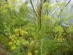 Echter Fenchel Foeniculum vulgare Pflanze