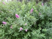Kolbenspiere Triumphans Pflanze