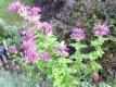 Indianernessel Goldmelisse Oswego-Tee Pflanze