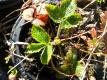 RUSSISCHE TEPPICHERDBEERE Pflanze