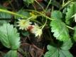ERDBEERE LIEBLICHE VON FRAU LADIKOVA Pflanze