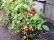 Tomate Tomatito de Jalapa Samen