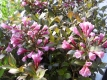 Weigelia Purpurea Pflanze