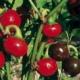 Türkenkugel Peperoni Capsicum anuum Samen