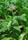Echter Rauchtabak(Nicotiana tabacum)Samen