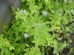 Schabzigerklee Trigonella caerula Samen