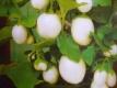 Eierbaum Samen