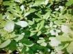 Sommerportulak grün Samen