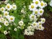 Mutterkraut Chrysanthemum parthenium Samen