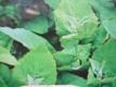 Gartenmelde grüne rheinische Samen