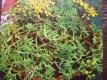 Tripmadam Sedum rupestre Samen
