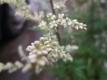Beifuß  Artemisia vulgaris Samen