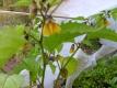 Tomatillo Purple de Milpa Samen