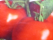 Tomate Hellfrucht Samen