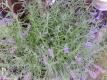 Lavendel Lavendula angustifolia Samen