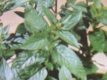 Pfefferminze Mentha piperiata Samen