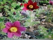 Küchenschelle-Kuhschelle rot Samen