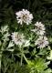 Koriander Coriandrum sativum Samen