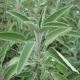 Echter Salbei Salvia officinalis Samen