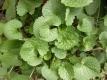 Löffelkraut Cochlearia officinalis Samen
