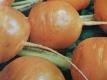 Speisemöhre Pariser Markt 2 Daucus Samen