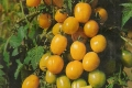 Tomate Cocktailtomate gelb Samen