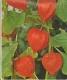 Lampionblume  Physalis Samen
