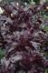 Basilikum Purple Ruffles Samen