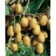 Kiwi Jenny selbstfruchtbar  Actinidia deliciosa Pflanze